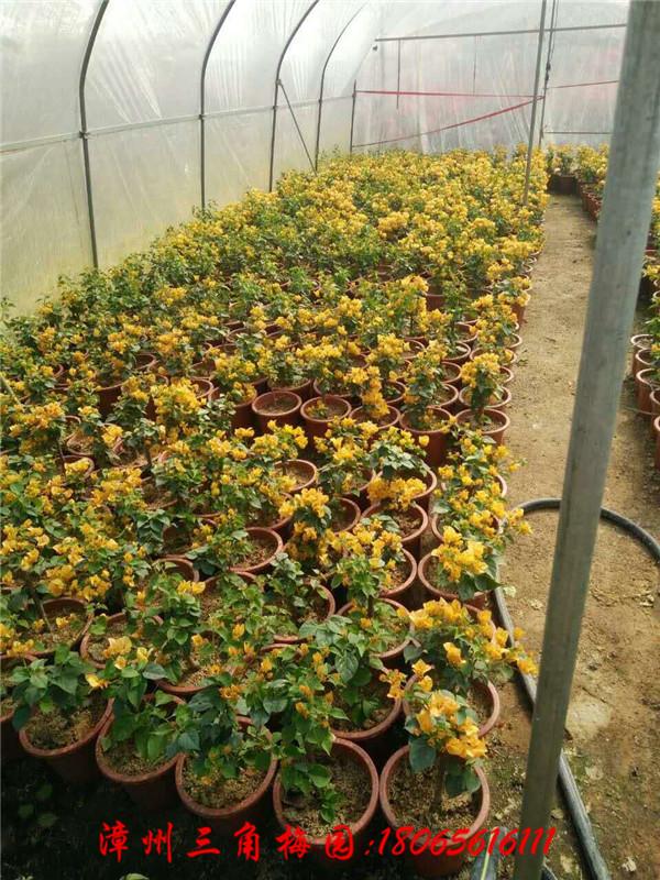 黄色皇后三角梅 柠檬黄蛋黄(小规格) 高度30-40CM