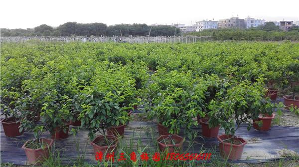 绿叶线茄色(小规格) 高度50-70CM