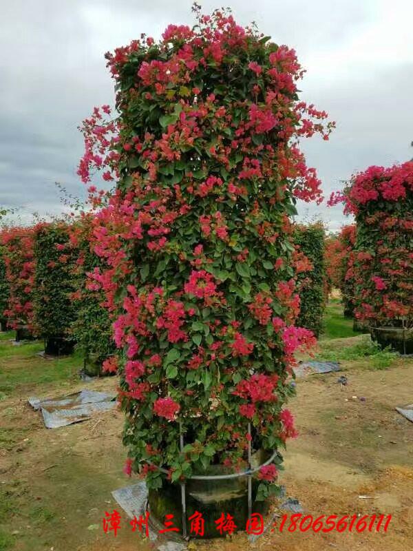 红花三角梅花柱  高度3M
