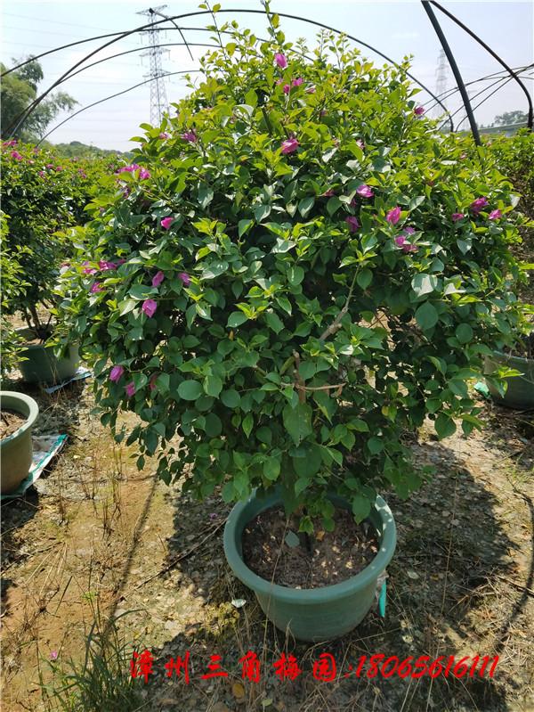 紫色花三角梅球 高度100-120CM